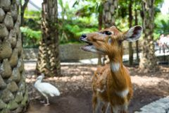 Deer at Bali Zoo in Indonesia royalty free stock photography