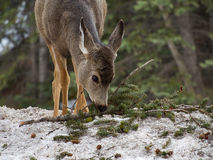 Deer at Banff, Canada. Deer at Bow River in Banff, Canada royalty free stock photo