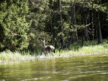 Deer in the Wigry National Park on the Czarna Hańcza River Royalty Free Stock Photos
