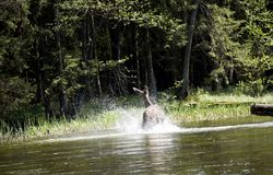 Deer in the Wigry National Park on the Czarna Hańcza River Stock Images