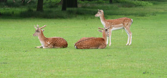 Deer banner with copy space. Three Young Deer banner with copy space Royalty Free Stock Photo