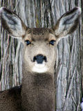 Deer on Bark Royalty Free Stock Image
