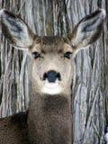 Deer on Bark. Wild doe against a backdrop of tree bark royalty free stock image