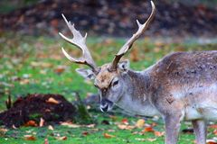 Deer at the bavarian forest national park Stock Photography