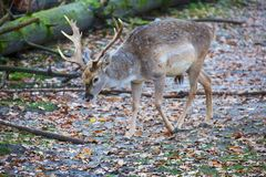 Deer at the bavarian forest national park Royalty Free Stock Photography