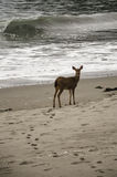 Deer on the Beach Royalty Free Stock Image