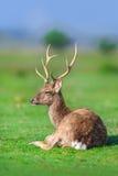 Deer with beautiful horns stock image