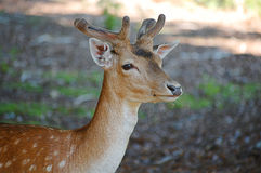 Deer. A beautiful deer in nature Stock Photography