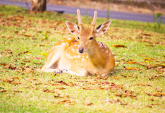 Deer. Beautiful deer in the park Stock Photo