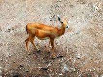 Deer - Animal & Wildlife . royalty free stock image