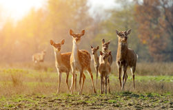 Deer. Beautiful deer running on a meadow, blurred background stock images