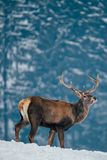 Deer in beautiful winter landscape. With snow and fir trees in the background, animal, animals, antler, arctic, bambi, big, brown, buck, cold, corvus, elk, eye stock images