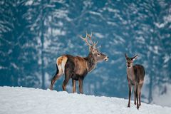 Deer in beautiful winter landscape. With snow and fir trees in the background, animal, animals, antler, arctic, bambi, big, brown, buck, cold, corvus, elk, eye royalty free stock photo