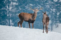 Deer in beautiful winter landscape. With snow and fir trees in the background, animal, animals, antler, arctic, bambi, big, brown, buck, cold, corvus, elk, eye royalty free stock photos