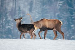 Deer in beautiful winter landscape. With snow and fir trees in the background, animal, animals, antler, arctic, bambi, big, brown, buck, cold, corvus, elk, eye royalty free stock photography