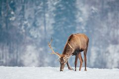 Deer in beautiful winter landscape. With snow and fir trees in the background, animal, animals, antler, arctic, bambi, big, brown, buck, cold, corvus, elk, eye royalty free stock images