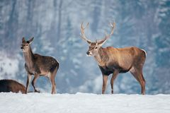 Deer in beautiful winter landscape. With snow and fir trees in the background, animal, animals, antler, arctic, bambi, big, brown, buck, cold, corvus, elk, eye stock image