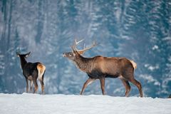 Deer in beautiful winter landscape. With snow and fir trees in the background, animal, animals, antler, arctic, bambi, big, brown, buck, cold, corvus, elk, eye royalty free stock image