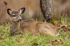 Deer bedded Royalty Free Stock Photography