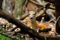 Deer bedded Doe Stock Image