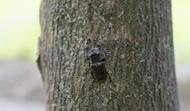 Deer beetle crawling on the bark. Of a tree in a city park stock photography