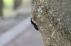 Deer beetle crawling on the bark. Of a tree in a city park stock image