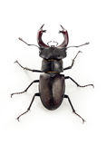 Deer beetle Lucanus cervus. Large beetle with horns on a white background Stock Photos