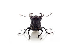 Deer beetle Lucanus cervus. Large beetle with horns on a white background Stock Images