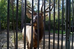 Deer behind bars in the zoo shut down eyes from savouring. Deer behind bars at the zoo chews grass and closed his eyes with pleasure Royalty Free Stock Images
