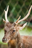 Deer Behind Fence Stock Photos