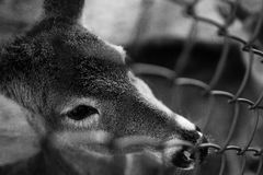 Deer behind fence Royalty Free Stock Photos