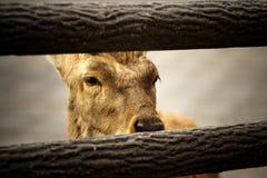 A Deer behind paling 2. A deer behind paling, shanghai zoo Royalty Free Stock Photo