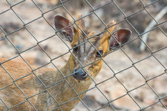 Deer behind wire fence, in thailand Royalty Free Stock Photo