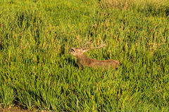 Deer bellowing Royalty Free Stock Photography