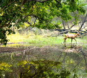 Deer in Bharatpur Bird Sanctuary, Rajasthan, India. Deer walking across a lake in the Natural Reserve Keoladeo Ghana National Park Stock Image