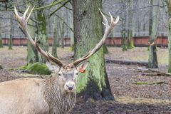 Deer - Bialowieski National Park. Stock Photos