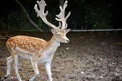 Deer with big antlers. Spotted young deer with huge antlers moving about stock images