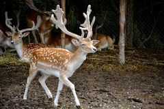 Deer with big antlers. Young spotted deer with huge antlers walks about royalty free stock photo