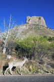 Deer in Big Bend National Park Stock Photo