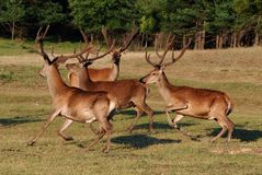 Deer with big horns. On meadow royalty free stock images