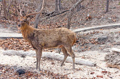 Deer with big horns. On sand stock photo