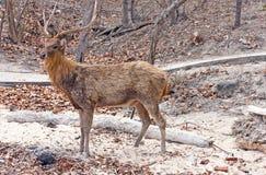 Deer with big horns Stock Photo