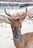Deer with big horns. On sand stock image