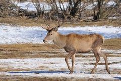 Deer with big horns. In winter stock photo