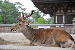 Deer with big horns. Deer lies on ground near the temple, Nara, Japan Stock Images