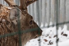 A deer with big horns close-up, brown warm wool. Big head in winter close-up in the aviary. Majestic beast in winter stock photography
