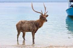 The deer with the big horns costs in water. Deer with big horns in ocean stock photos