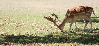 Deer with big horns. In the natural park stock photos