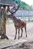 Deer with big horns eating. Grass stock photo