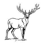 Deer with big horns. Royalty Free Stock Image